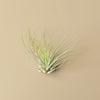 3 Small Tillandsia Air Plant Pack