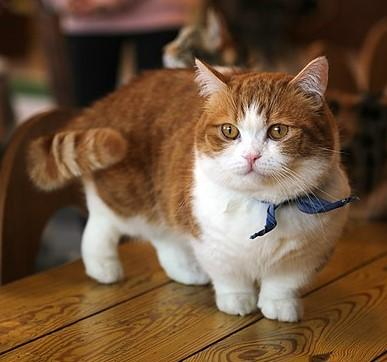 What are Munchkin Cats?