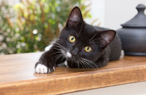 Beautiful black cat with white paws
