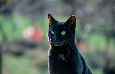 A black cat with a blurry background