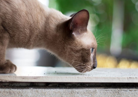 A grey short-haired cat on the hunt