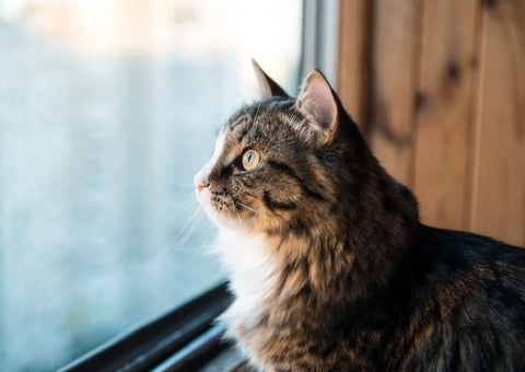 A beautiful furry cat staring out a window