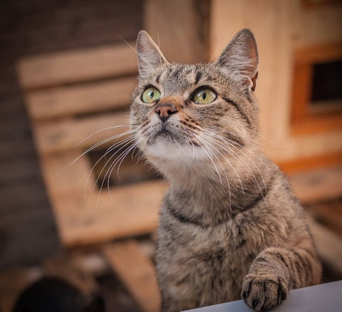 Brown cat with beautiful eyes at dusk