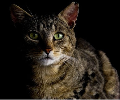Beautiful brown cat partially in the dark