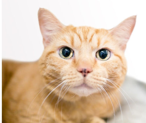 Cute ginger tabby cat with large pupils