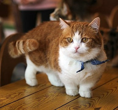 Orange and white Munchkin cat with a collar