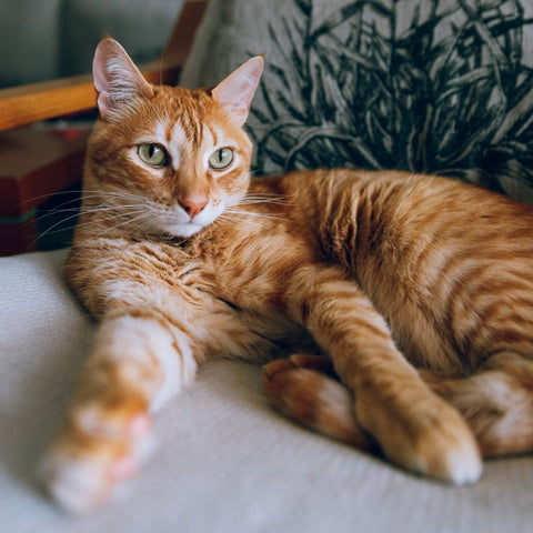 Orange tabby cat after kneading before going into heat