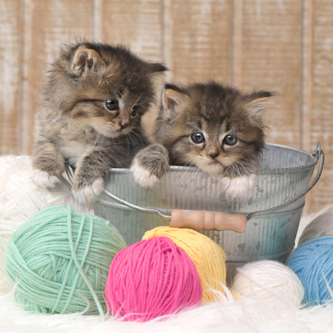 Two kittens playing with colorful yarn for are cats color blind story