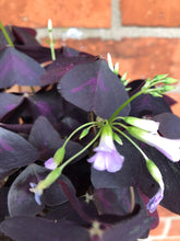 Load image into Gallery viewer, Oxalis Triangularis