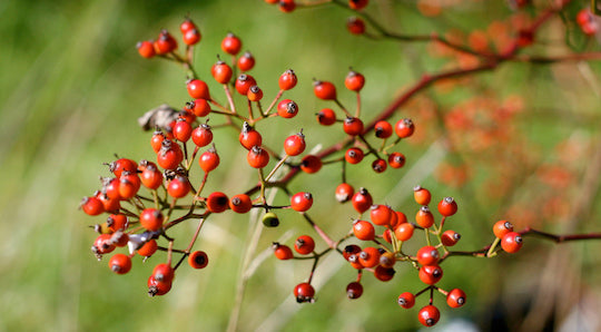 Ingredient Spotlight: The Many Benefits of Rosehip Oil (a.k.a. Nature's Retinol)