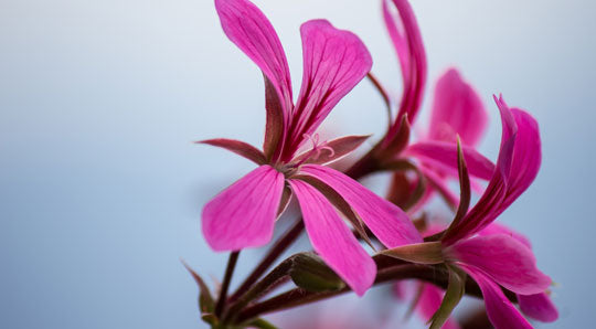 Rose Geranium Oil: The Great Skin Balancer