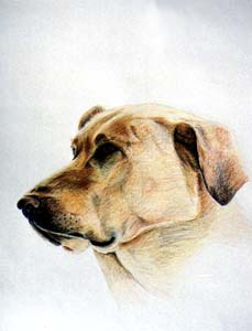 Labrador Retriever Birch