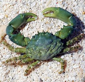 XL Emerald Crabs