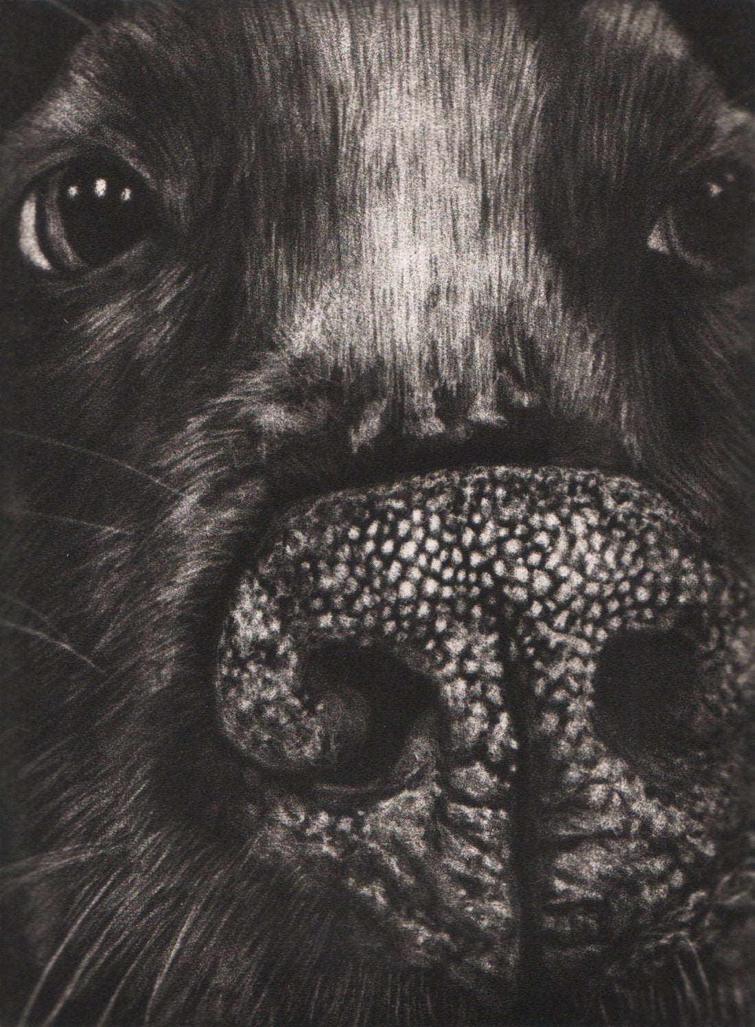 Kirstin Flaherty's 'Pit Bull Portrait.' Black and white mezzotint of a dog's nose and face.