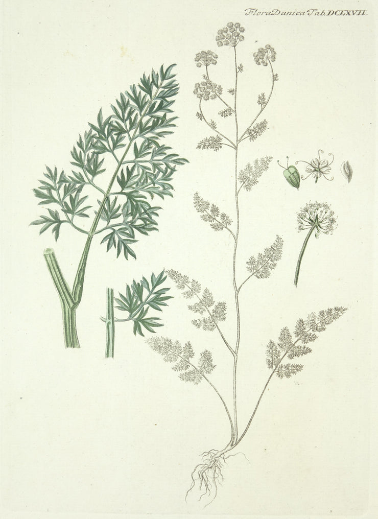 Flora Daniea Tab DCLXVII by Naturalist Prints (Botanicals) - Davidson Galleries