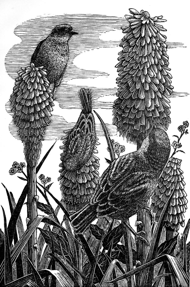 Red Hot Pokers by Geri Waddington - Davidson Galleries