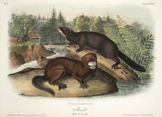 Mink by John James Audubon - Davidson Galleries