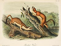 Bridled Weasel by John James Audubon - Davidson Galleries