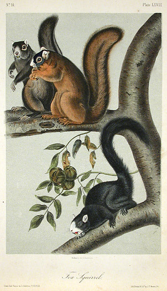 Fox Squirrel by John James Audubon - Davidson Galleries