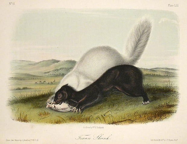 Texan Skunk by John James Audubon - Davidson Galleries