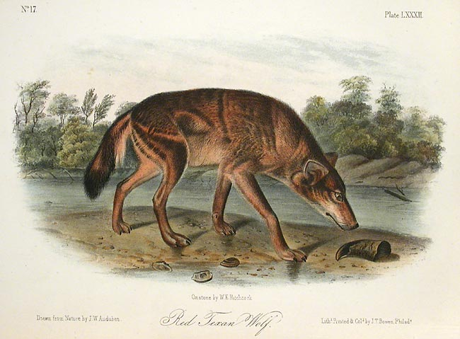Red Texan Wolf by John James Audubon - Davidson Galleries
