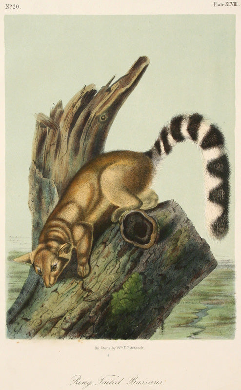 Ring Tale Bassaus by John James Audubon - Davidson Galleries