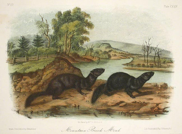 Mountain Mink by John James Audubon - Davidson Galleries