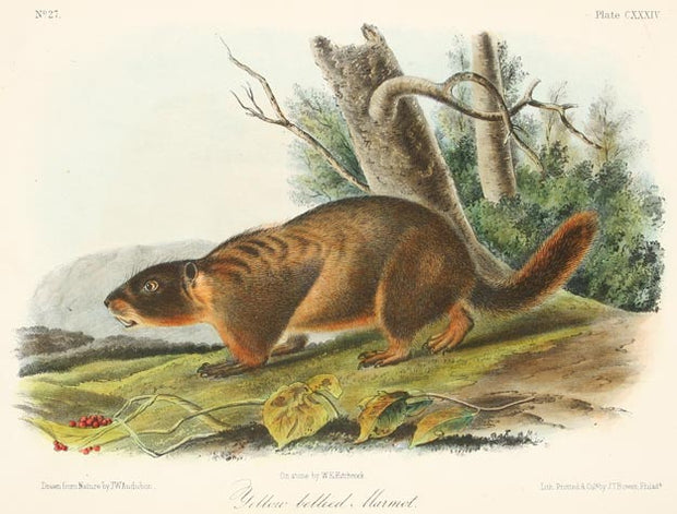 Yellow Bellied Marmot by John James Audubon - Davidson Galleries