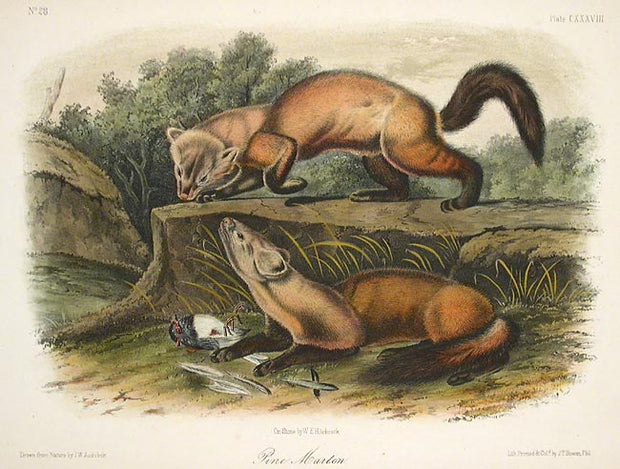 Pine Marten by John James Audubon - Davidson Galleries
