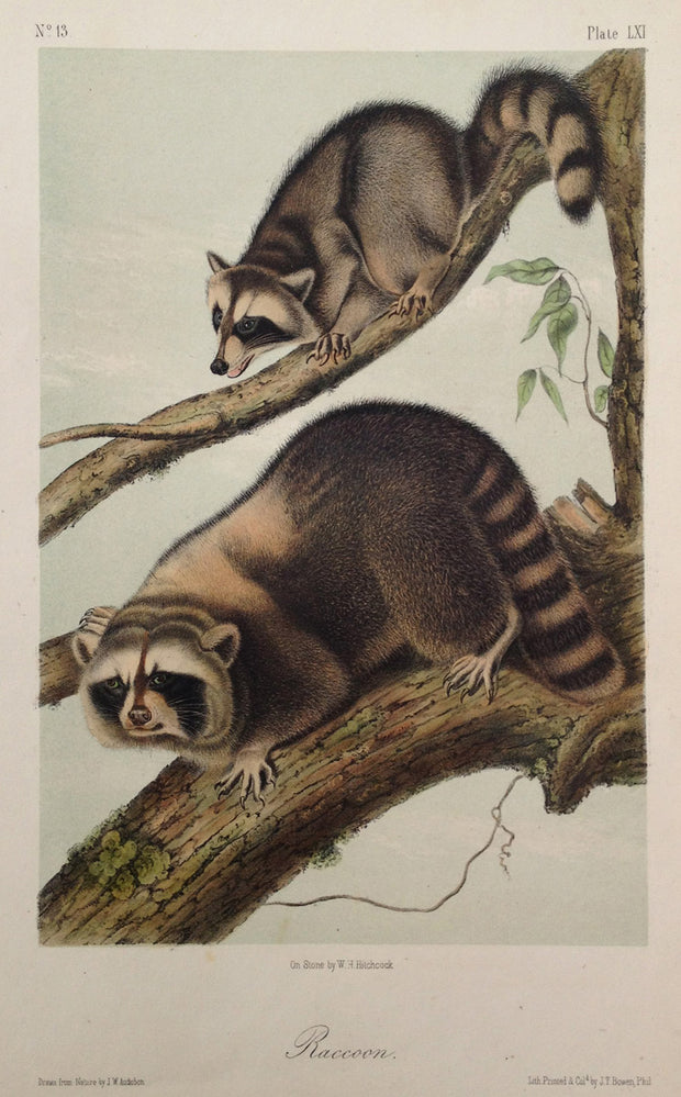 Raccoon by John James Audubon - Davidson Galleries
