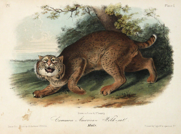 Common American Wild-Cat by John James Audubon - Davidson Galleries
