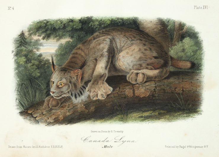 Canada Lynx by John James Audubon - Davidson Galleries