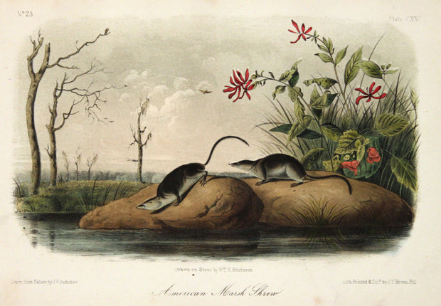 American Marsh Shrew by John James Audubon - Davidson Galleries