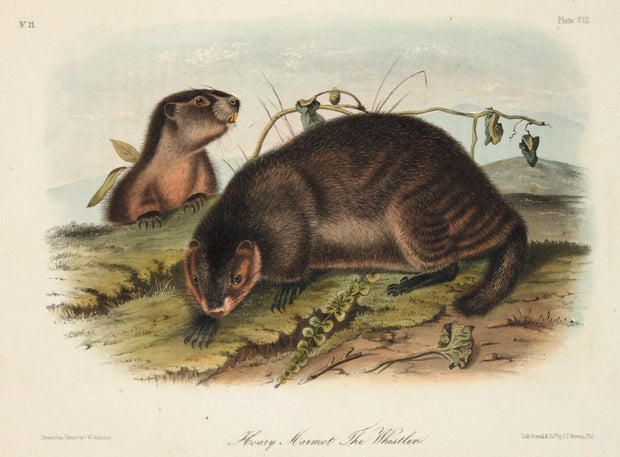 Hoary Marmot The Whistler by John James Audubon - Davidson Galleries