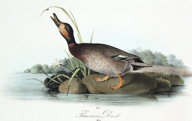 Brewer's Duck by John James Audubon - Davidson Galleries