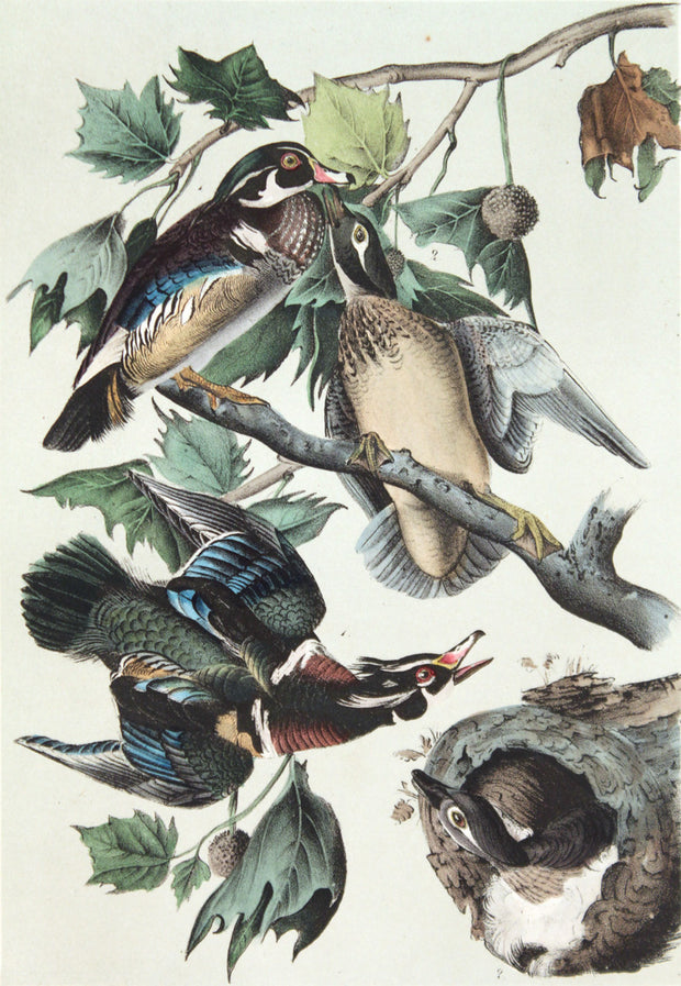 Wood Duck - Summer Duck by John James Audubon - Davidson Galleries