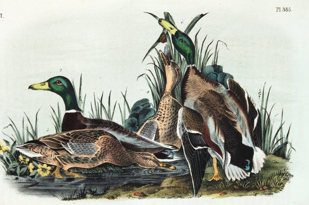 Mallard by John James Audubon - Davidson Galleries