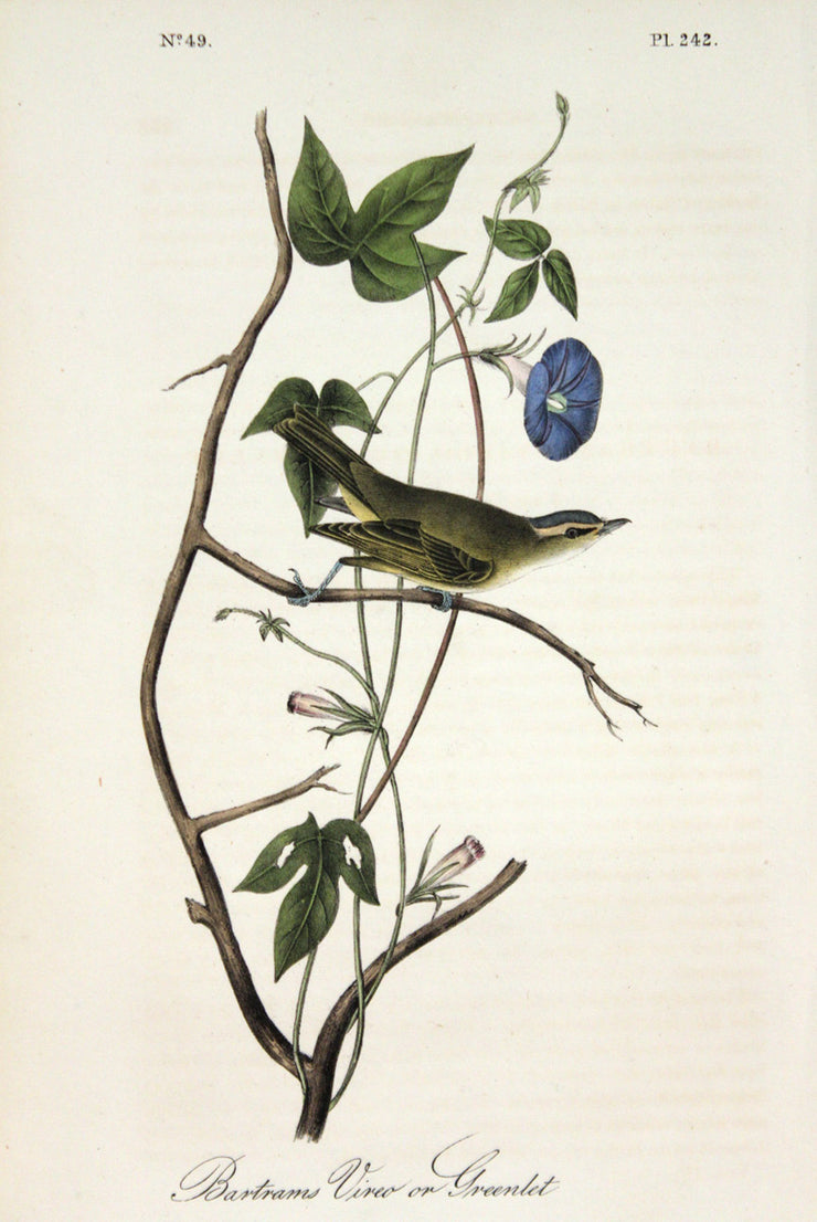 Bartram's Vireo or Greenlet by John James Audubon - Davidson Galleries