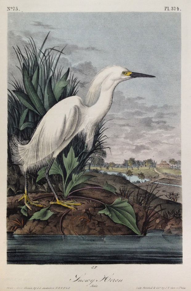 Snowy Heron by John James Audubon - Davidson Galleries