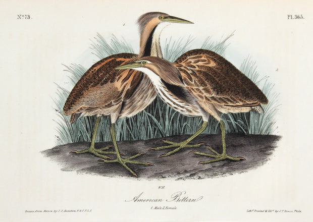 American Bittern by John James Audubon - Davidson Galleries