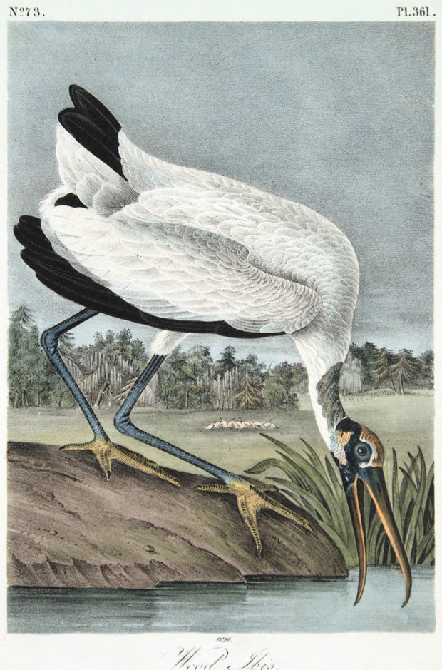 Wood Ibis by John James Audubon - Davidson Galleries
