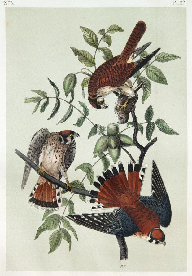 Sparrow Falcon by John James Audubon - Davidson Galleries