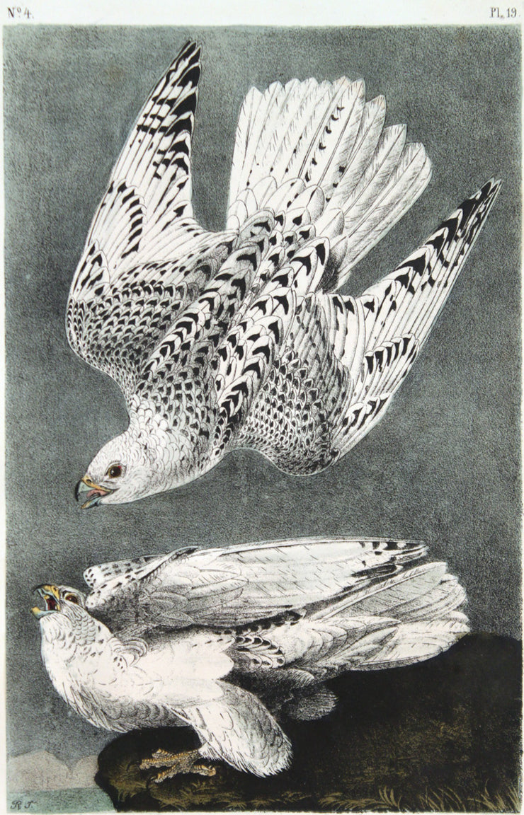 Iceland or Gyr Falcon by John James Audubon - Davidson Galleries