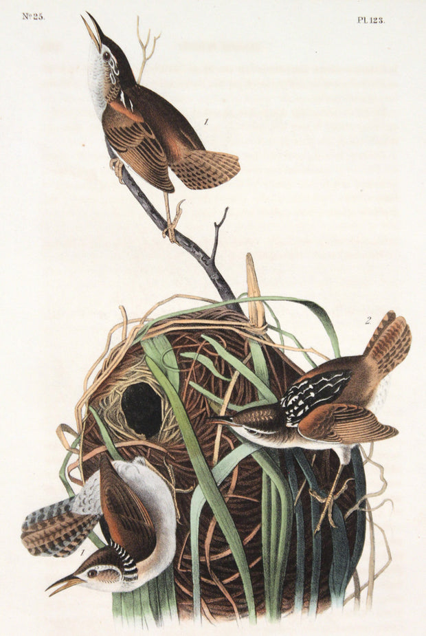 Marsh Wren by John James Audubon - Davidson Galleries