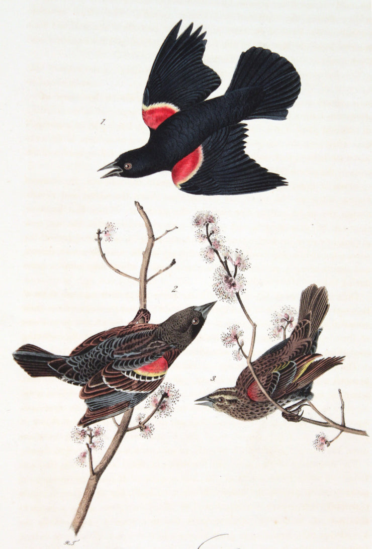 Red-Winged Starling by John James Audubon - Davidson Galleries
