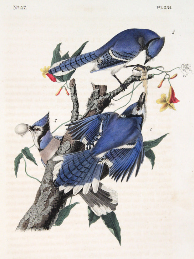 Blue Jay by John James Audubon - Davidson Galleries