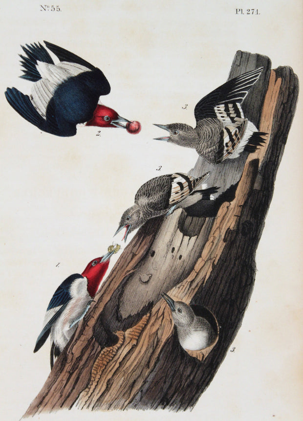 Red-Headed Woodpecker by John James Audubon - Davidson Galleries