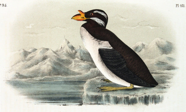 Horned-Billed Guillemot by John James Audubon - Davidson Galleries