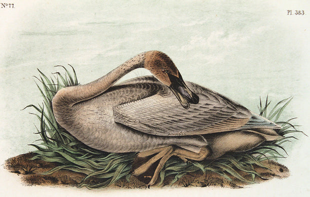 Trumpeter Swan by John James Audubon - Davidson Galleries