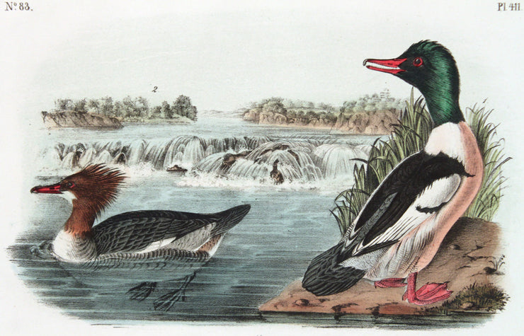 Buff-Breasted Merganter Goosander by John James Audubon - Davidson Galleries